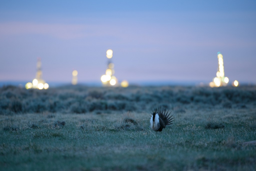 Greater Sage-Grouse (Centrocercus urophasianus) and natural gas drilling rigs at dawn on the Pinedale Mesa. Sublette County, Wyoming. May.