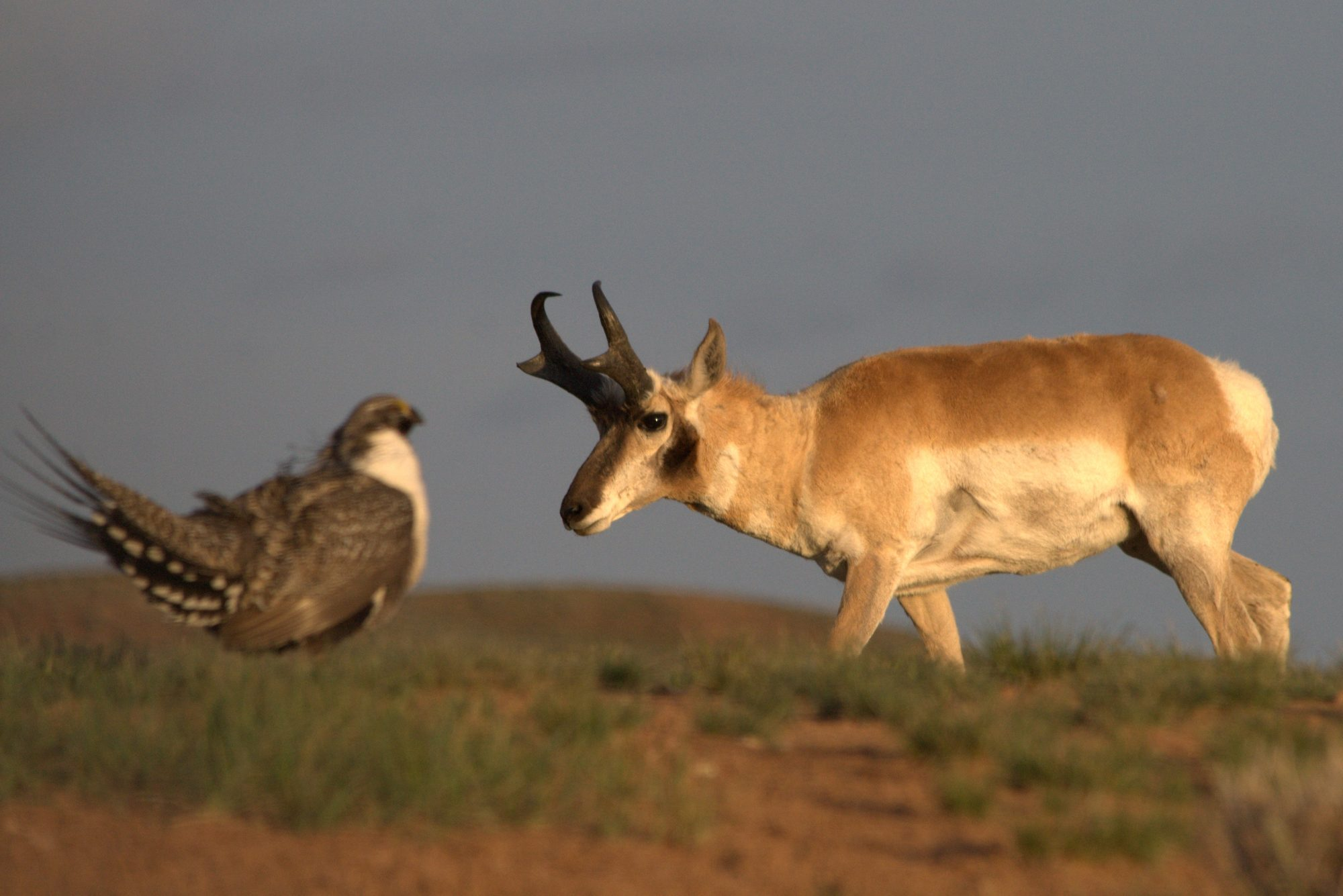 Grouse and Pronghorn