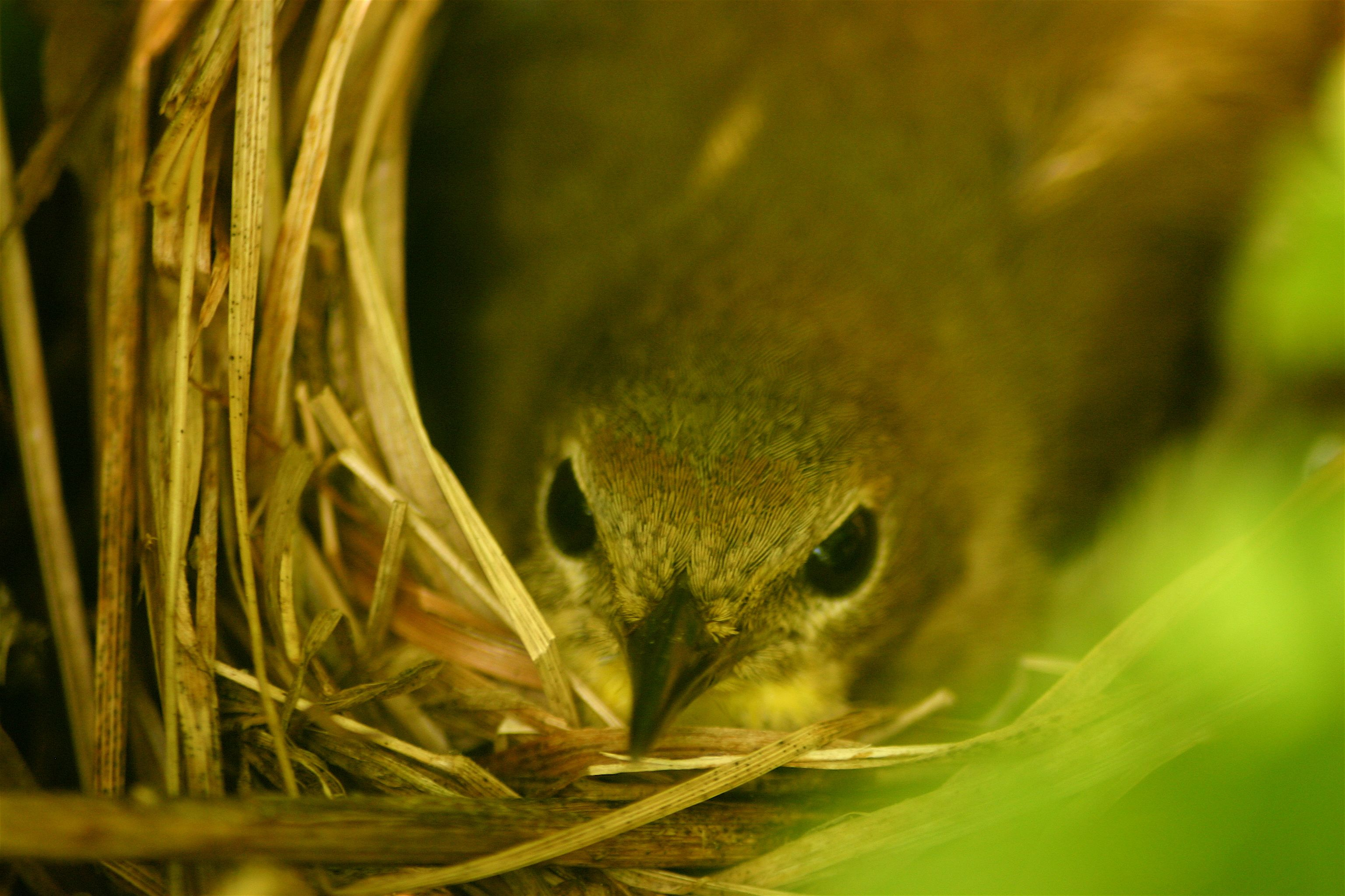 PhD student Conor Taff's research on common yellowthroats