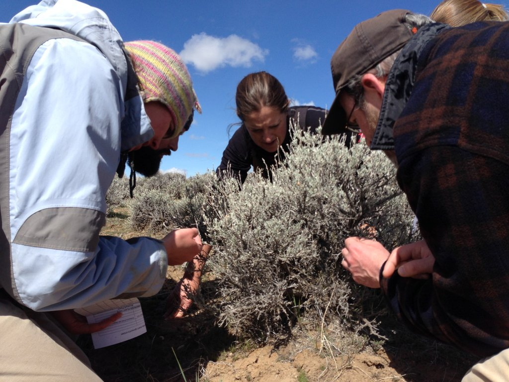 Looking for sage-grouse bite marks on sagebrush leaves with Jennifer Forbey