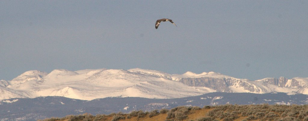 Ferruginous Hawk over Cottontail, 2014