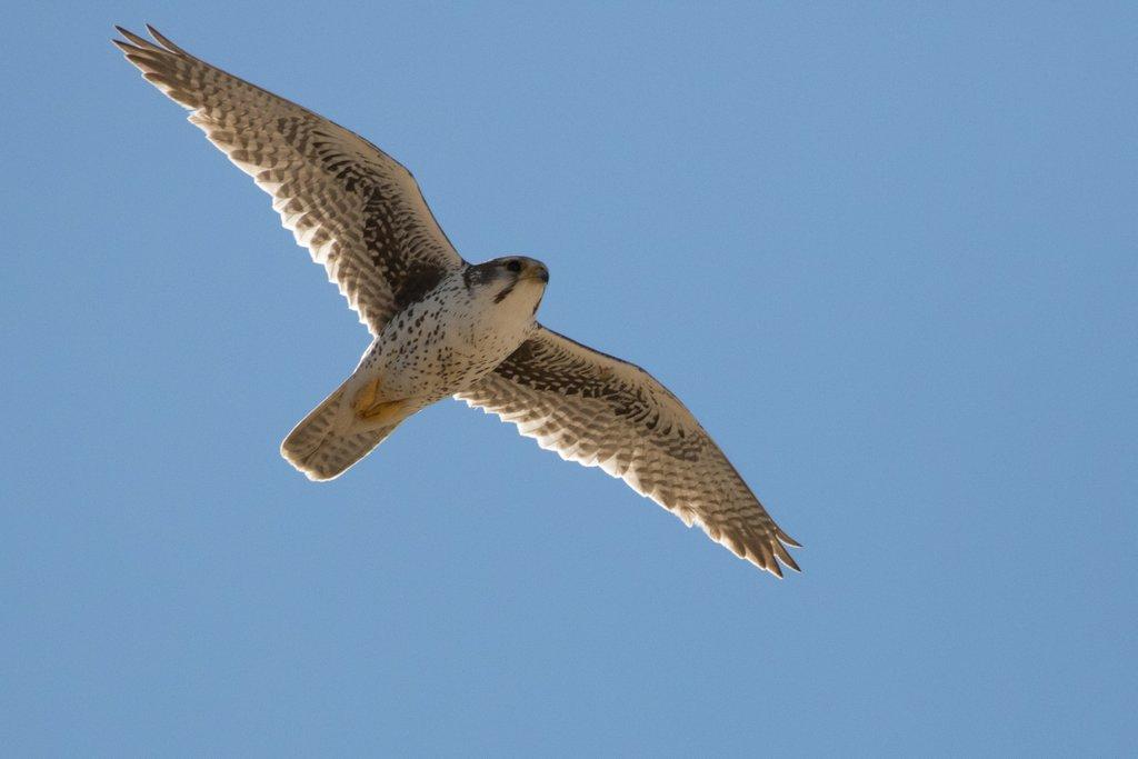 Prairie Falcon, Castle Gardens, WY