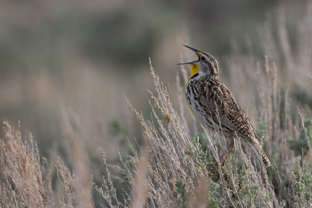 Meadowlark on Chugwater