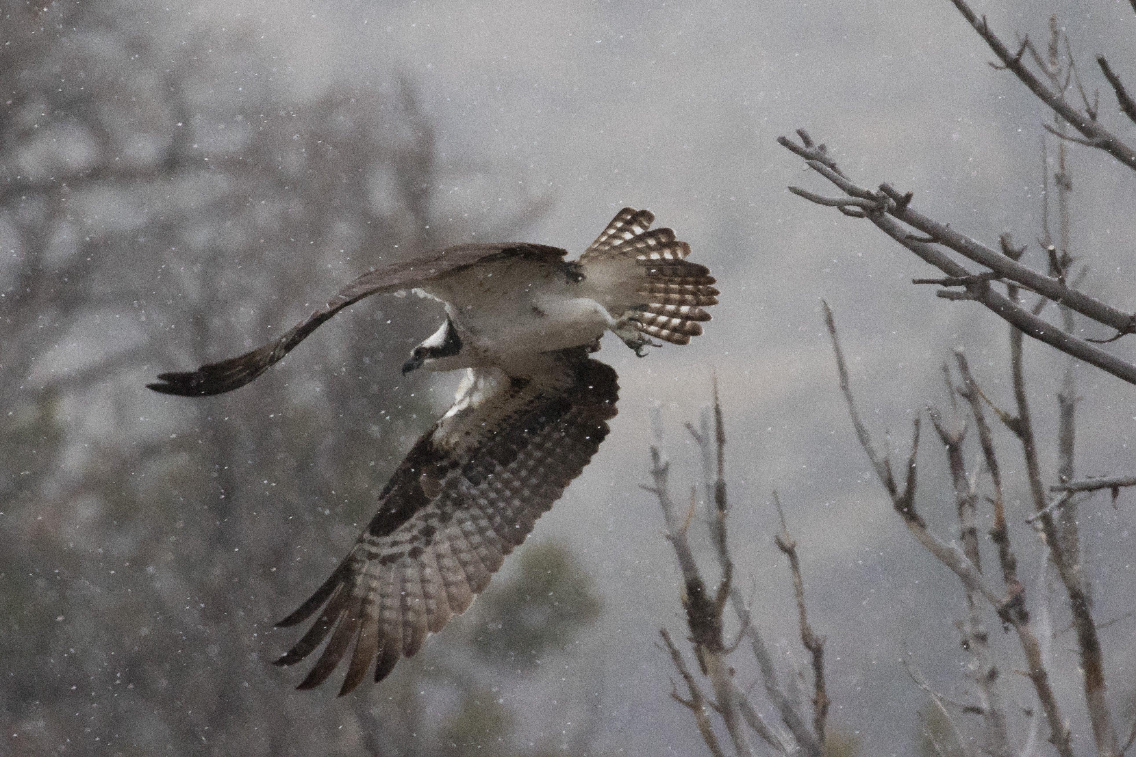 Osprey, Dubois 2016