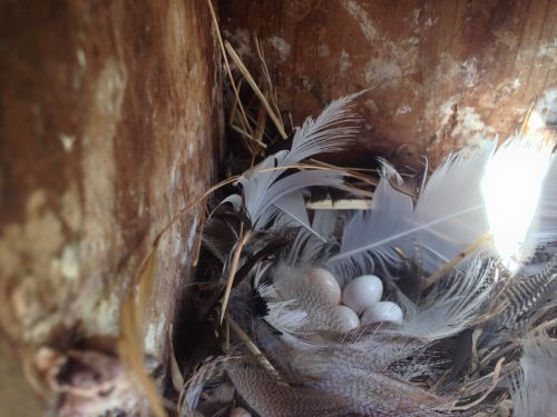 Inside a tree swallow nestbox, 2015