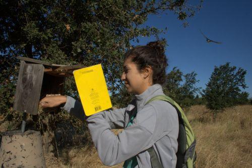 Allison Injaian fetching tree swallow nestlings, 2015